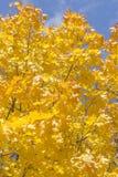 Autumn Leaves dell'acero è illuminato dai raggi del ` s di Sun Immagini Stock