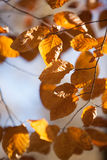 Autumn leaves. Detail of autumn leaves, sunshine royalty free stock image