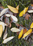 Autumn leaves detail on a wet green ground. Nature background Royalty Free Stock Image