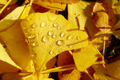 Autumn Leaves Dew Drops Fotografie Stock Libere da Diritti