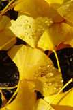 Autumn Leaves Dew Drops Fotografia Stock Libera da Diritti