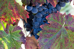Autumn leaves dew laden blue wine grapes. Autumn leaves surround dew laden blue wine grapes on vine waiting for harvest Stock Image