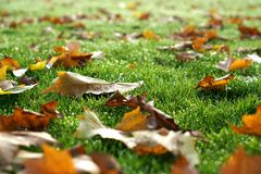 Autumn Leaves on Dewy Grass, Selective Focus Royalty Free Stock Photo