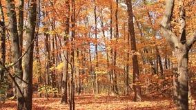 Autumn Leaves 3 die omhoog overhellen stock videobeelden