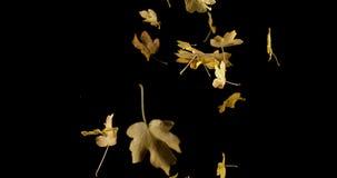 Autumn Leaves die tegen Zwarte Achtergrond vallen, stock footage