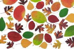 Autumn leaves with different trees on a white background. Stock Image