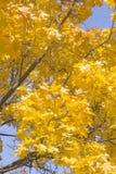 Autumn Leaves do bordo é iluminado pelos raios do ` s de Sun Foto de Stock Royalty Free