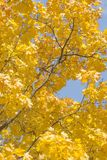 Autumn Leaves do bordo é iluminado pelos raios do ` s de Sun Fotos de Stock
