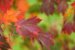 Autumn leaves, Downy Japanese Maple Royalty Free Stock Photo