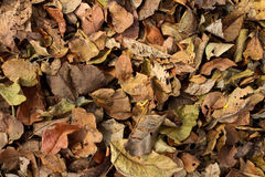 Autumn leaves. Dry autumn leaves on the forest floor Stock Photos