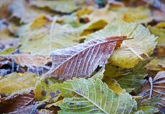 Autumn leaves with dusting of frost. Stock Image