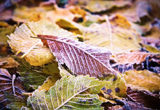 Autumn leaves with dusting of frost. Royalty Free Stock Photography