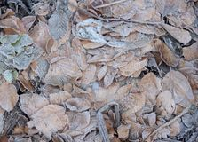 Frost Leaves Stock Photo