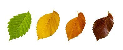 Autumn leaves of elm isolated on white background. Season colorful leaves concept stock image