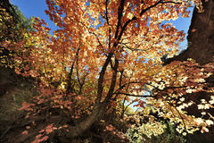 Autumn Leaves en Angel& x27; rastro del aterrizaje de s en Zion National Park imagen de archivo