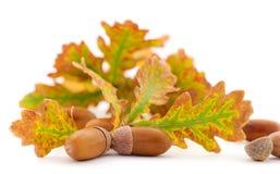 Autumn Leaves en Eikels stock fotografie