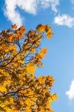 Autumn Leaves et un ciel bleu Image stock