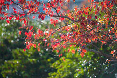 Autumn leaves and evergreen tree Royalty Free Stock Image