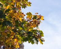 Autumn leaves. Fall leaves against the blue sky Stock Image
