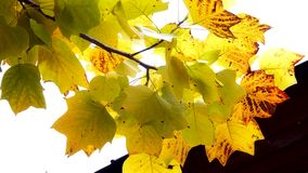 Autumn Leaves. Fall background. Autumn leaves in the garden. Branch with leaves waving in the wind. Tulip poplar tree. Liriodendron tulipifera. High definition stock footage