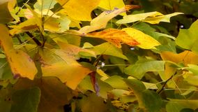 Autumn Leaves. Fall background. Autumn leaves in the garden. Landscape of Branch with leaves waving in the wind. Tulip poplar tree. Liriodendron tulipifera. High stock video footage