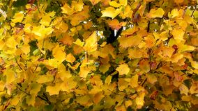 Autumn Leaves. Fall background. Autumn leaves in the garden. Landscape of Branch with leaves waving in the wind. Tulip poplar tree. Liriodendron tulipifera. High stock footage
