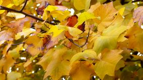 Autumn Leaves. Fall background. Autumn leaves in the park. Branch with leaves waving in the wind. Tulip poplar tree. Liriodendron tulipifera. High definition stock video