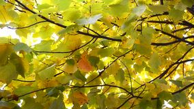 Autumn Leaves. Fall background. Autumn leaves in the park. Branch with leaves waving in the wind. Tulip poplar tree. Liriodendron tulipifera. High definition stock footage