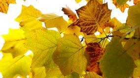 Autumn Leaves. Fall background stock video