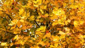Autumn Leaves. Fall background. Autumn leaves in the park. Yellow leaves waving in the wind. Tulip poplar tree. Liriodendron tulipifera. High definition Full HD stock video