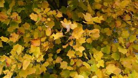 Autumn Leaves. Fall background. Autumn leaves in the park. Yellow leaves waving in the wind. Tulip poplar tree. Liriodendron tulipifera. High definition Full HD stock video footage