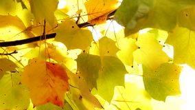 Autumn Leaves. Fall background. Tulip poplar tree in the park. Yellow leaves waving in the wind. Liriodendron tulipifera. High definition Full HD 1080, 30fps stock video footage
