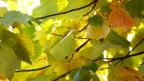 Autumn Leaves. Fall background. Tulip poplar tree in the park. Yellow leaves waving in the wind. Liriodendron tulipifera. High definition Full HD 1080, 30fps stock footage