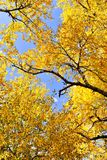 Autumn leaves, cottonwood tree, blue sky. Autumn leaves in the fall, a canopy of a cottonwood tree, blue sky as background royalty free stock photo