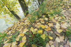 Autumn leaves fall on the floor. (Populus nigra); Terradets; Spain Stock Image