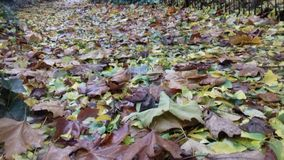 Autumn Leaves. Fall of golden autumn Leaves blanket a colourful carpet stock image