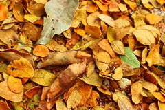 Autumn leaves fall on the ground. Orange dry leaves fall background Royalty Free Stock Image