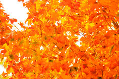 Autumn leaves fall trees nature background Royalty Free Stock Photo