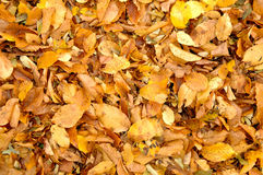 Autumn leaves fall Royalty Free Stock Photos