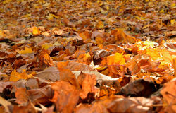 Autumn leaves. The fallen leaves on the ground Stock Images