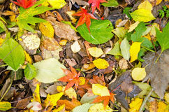 Autumn leaves. Fallen onto a woodland floor Royalty Free Stock Images