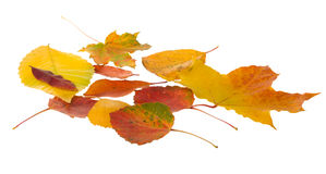 Autumn leaves falling. Isolated on white background Royalty Free Stock Images