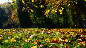 Autumn leaves falling in autumnal park. In sunny october day stock footage