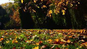 Autumn leaves falling in autumnal park. In sunny october day stock video