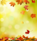 Autumn leaves. Falling autumn leaves in the forest Stock Photo
