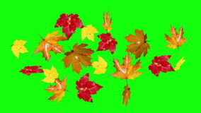 Autumn leaves falling green screen