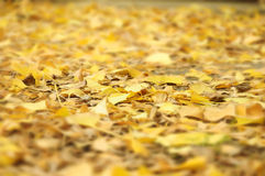 Autumn leaves falling on the ground of the leaves of Ginkgo biloba Stock Photo