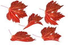 Autumn leaves falling isolated on white background. Red grape leaves are deformed and isolated on white background Royalty Free Stock Images