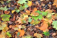 Autumn leaves, Falls thanksgiving Royalty Free Stock Photos