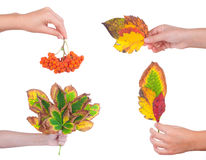 Autumn leaves on a female hand, isolated Royalty Free Stock Images